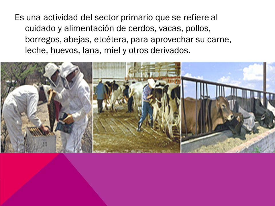 Es una actividad del sector primario que se refiere al cuidado y alimentación de cerdos, vacas, pollos, borregos, abejas, etcétera, para aprovechar su carne, leche, huevos, lana, miel y otros derivados.