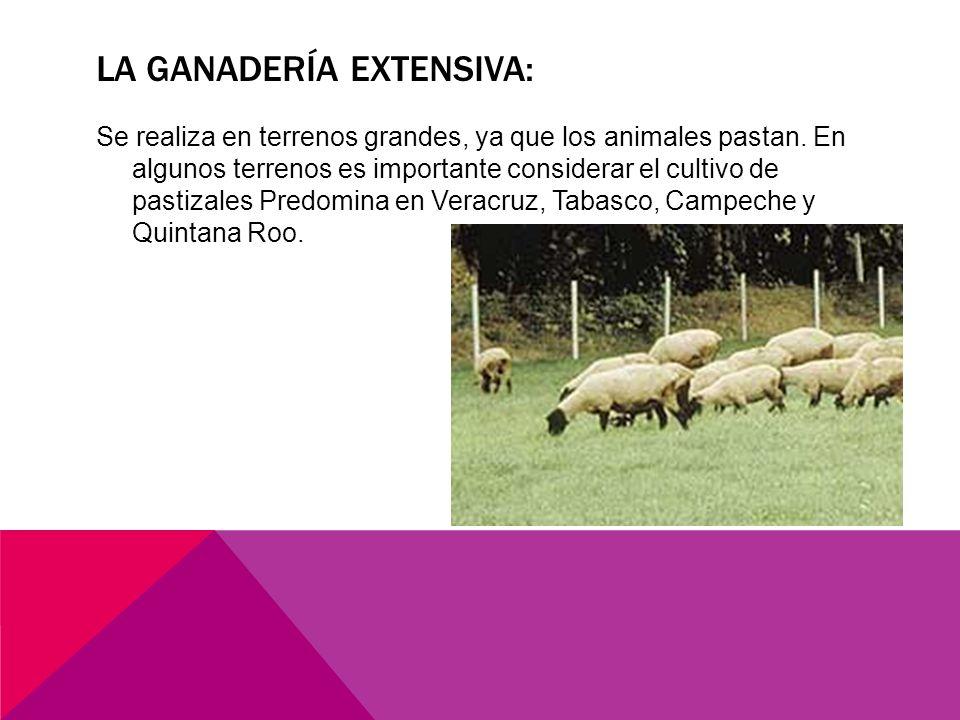 LA GANADERÍA EXTENSIVA: Se realiza en terrenos grandes, ya que los animales pastan.