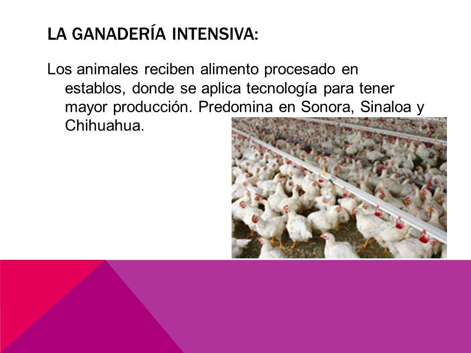 LA GANADERÍA INTENSIVA: Los animales reciben alimento procesado en establos, donde se aplica tecnología para tener mayor producción.