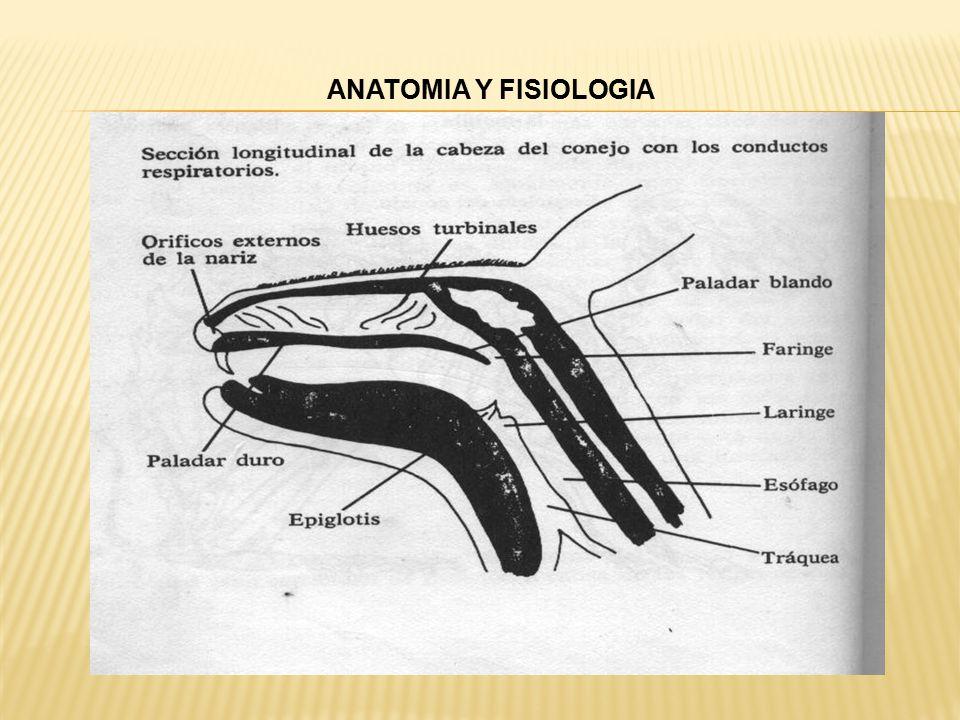 Vistoso Anatomía Interna De Conejo Imágenes - Imágenes de Anatomía ...