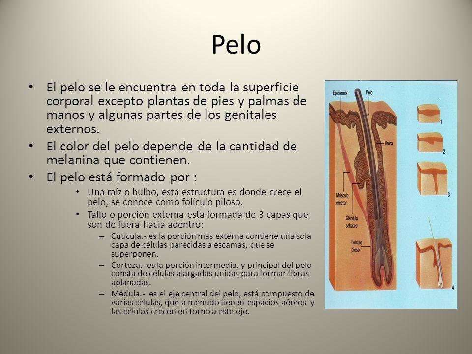 Pelo El pelo se le encuentra en toda la superficie corporal excepto plantas de pies y palmas de manos y algunas partes de los genitales externos.