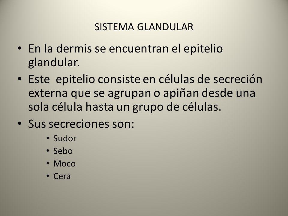 En la dermis se encuentran el epitelio glandular. Este epitelio consiste en células de secreción externa que se agrupan o apiñan desde una sola célula