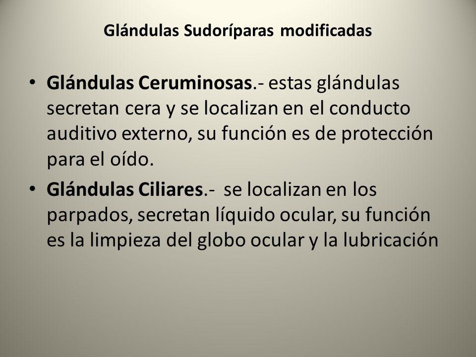 Glándulas Ceruminosas.- estas glándulas secretan cera y se localizan en el conducto auditivo externo, su función es de protección para el oído. Glándu