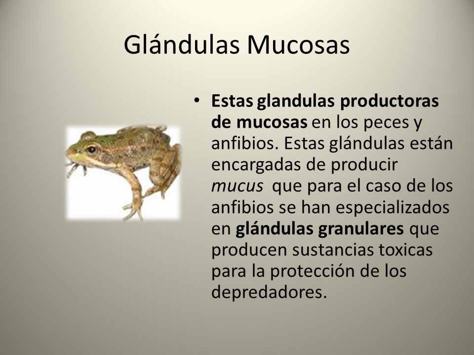 Glándulas Mucosas Estas glandulas productoras de mucosas en los peces y anfibios. Estas glándulas están encargadas de producir mucus que para el caso