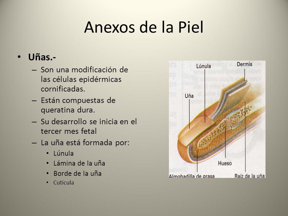 Anexos de la Piel Uñas.- – Son una modificación de las células epidérmicas cornificadas. – Están compuestas de queratina dura. – Su desarrollo se inic