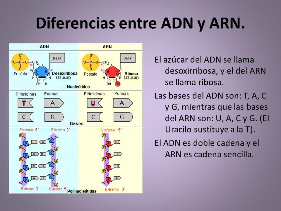 Resultado de imagen de El código genético que está en el ADN contiene instrucciones para fabricar proteínas