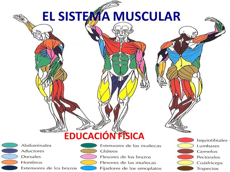 EL SISTEMA MUSCULAR EDUCACIÓN FÍSICA