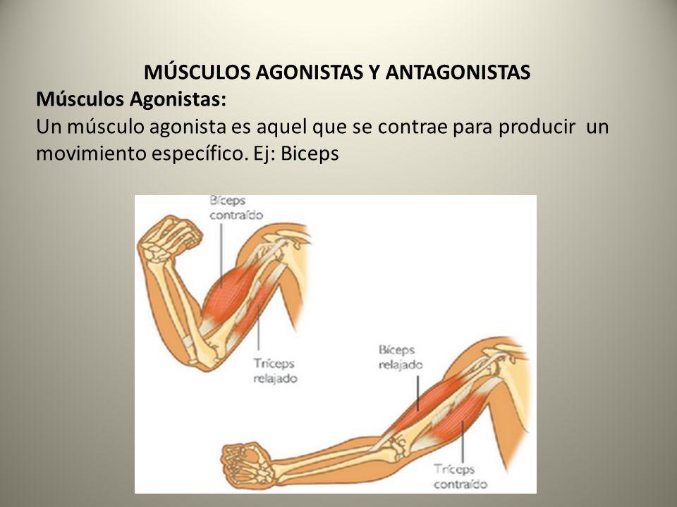 Músculos Antagonistas: Un músculo antagonista es aquel que está situado en el lado opuesto de la articulación que mueve el músculo agonista, este músculo debe relajarse para que el músculo agonista pueda contraerse.