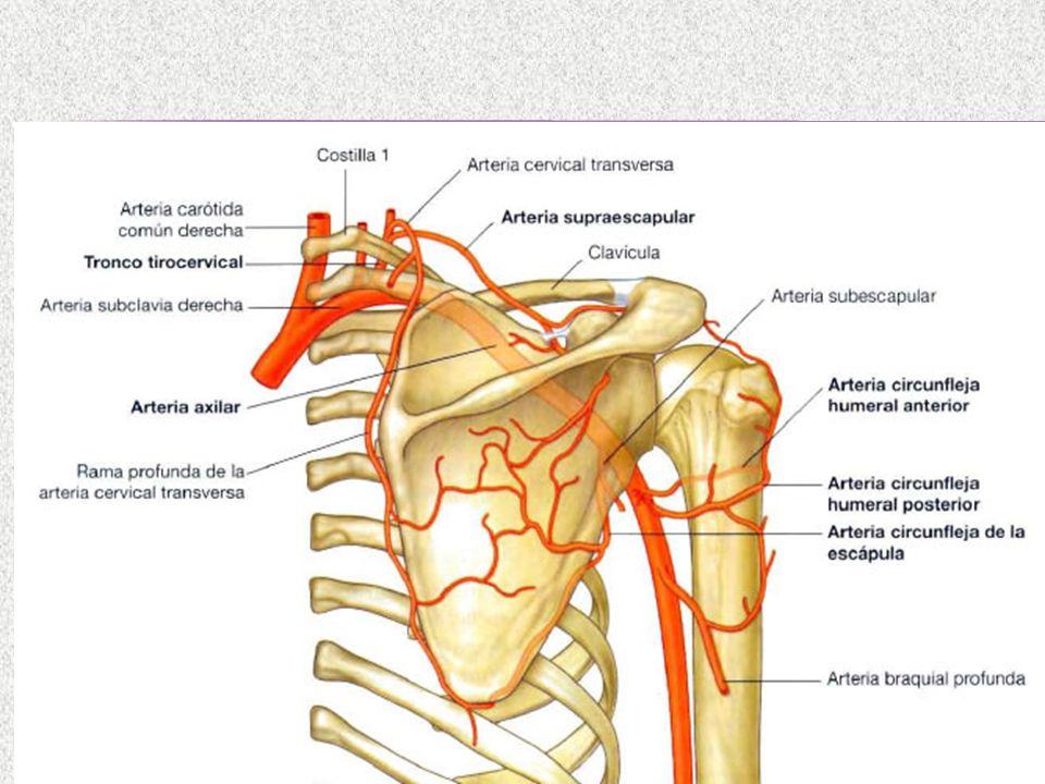 Vistoso Anatomía De La Arteria Subclavia Izquierda Elaboración ...