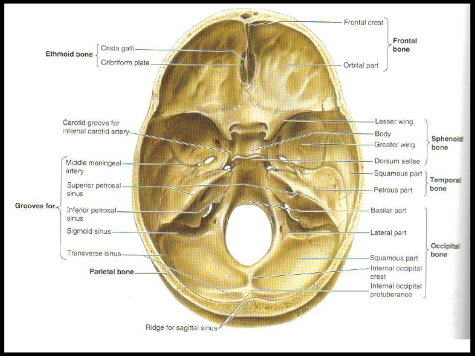 Hermosa Anatomía Fosa Craneal Festooning - Anatomía de Las ...