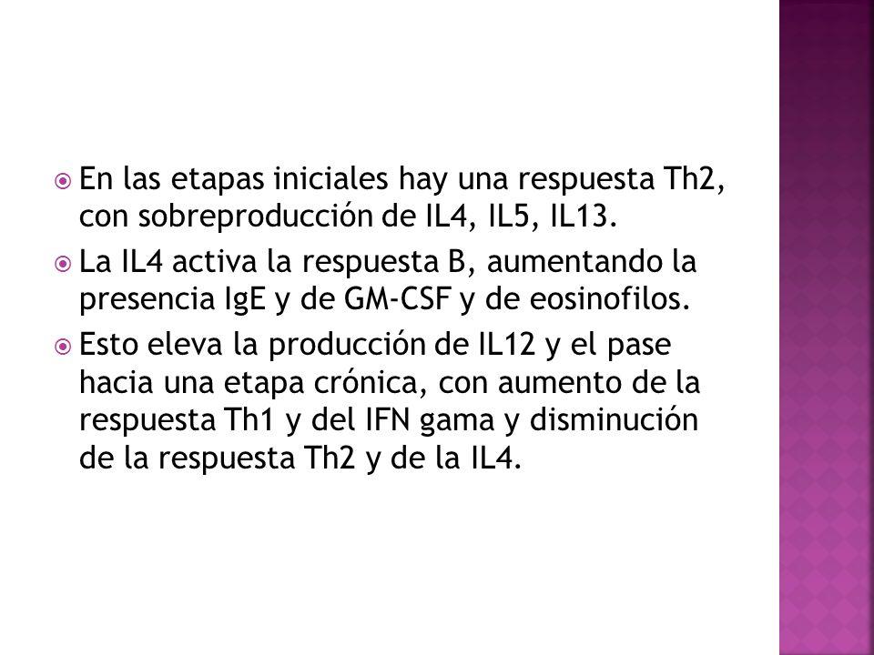  En las etapas iniciales hay una respuesta Th2, con sobreproducción de IL4, IL5, IL13.