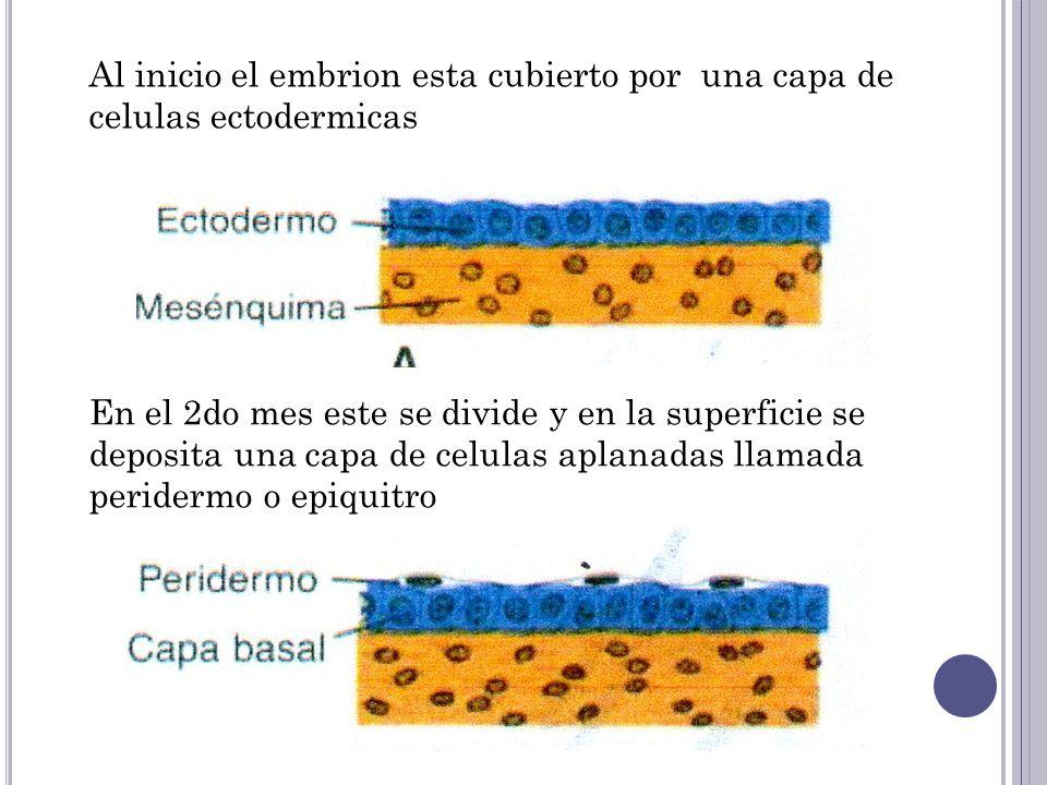 Se forma una tercera capa, la zona intermedia Por ultimo al final del 4to mes la epidermis adquiere su organización definitiva y se distinguen 4 capas