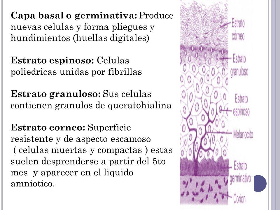 Durante los primeros 3 meses la epidermis es invadida por celulas originadas en la cresta neural, estas sintetizan un pigmento (melanina) que es la encargada de la pigmentacion de la piel melanina