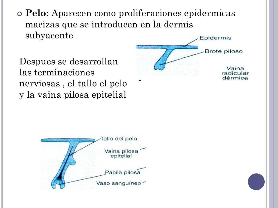 Las celulas del centro de los brotes pilosos se tornan fusiformes y queratinizadas y forman el tallo del pelo y las celulas perifericas se tornan cubicas y forman la vaina epitelial.