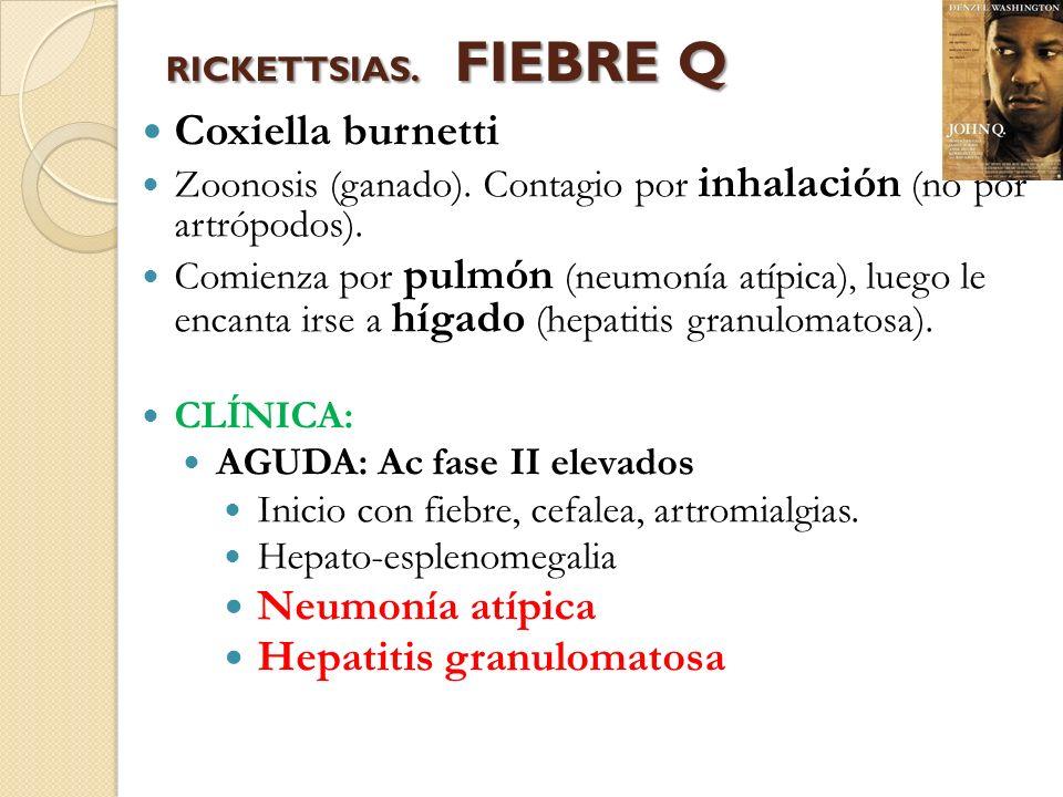 RICKETTSIAS. FIEBRE Q Coxiella burnetti Zoonosis (ganado). Contagio por inhalación (no por artrópodos). Comienza por pulmón (neumonía atípica), luego