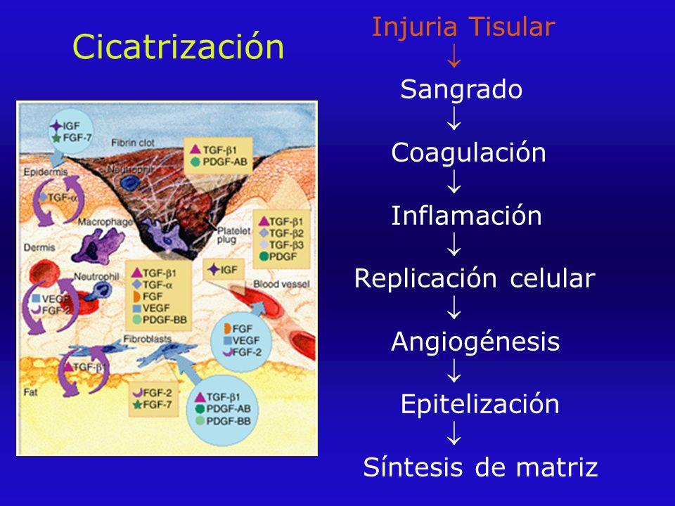 Cicatrización Injuria Tisular  Sangrado  Coagulación  Inflamación  Replicación celular  Angiogénesis  Epitelización  Síntesis de matriz