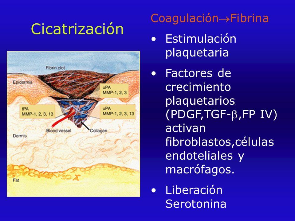 Cicatrización CoagulaciónFibrina Estimulación plaquetaria Factores de crecimiento plaquetarios (PDGF,TGF-,FP IV) activan fibroblastos,células endoteliales y macrófagos.