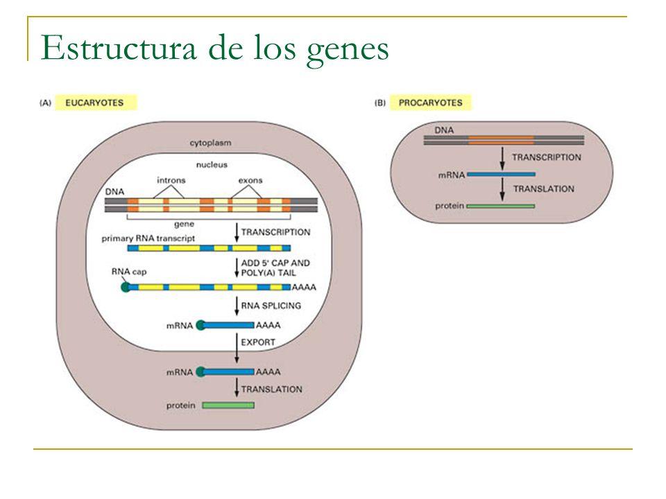 HMM para predicción de genes Inicialmente para los elementos límite se usaban secuencias consenso.