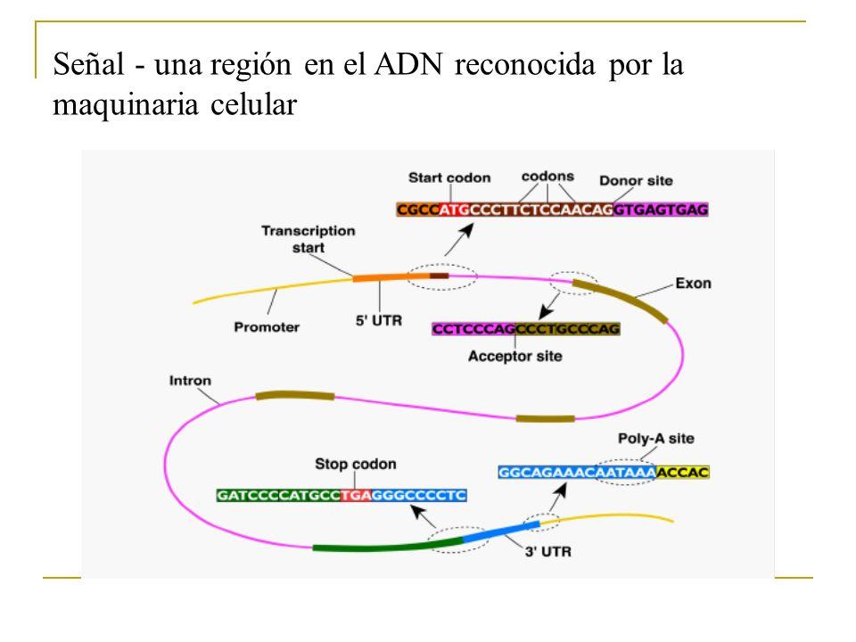 Estrategias de predicción de genes Basados en similitud (extrínsecos) Usan herramientas de alineamiento local para comparar contra secuencias anotadas (proteínas, cDNAs, Est) Pros: se basan en información biológica preexistemte Contras: limitado a información preexistente errores en las bases de datos difícil comparar los limites de un gen en base a similitud hay métodos más rápidos que comparar contra base de datos