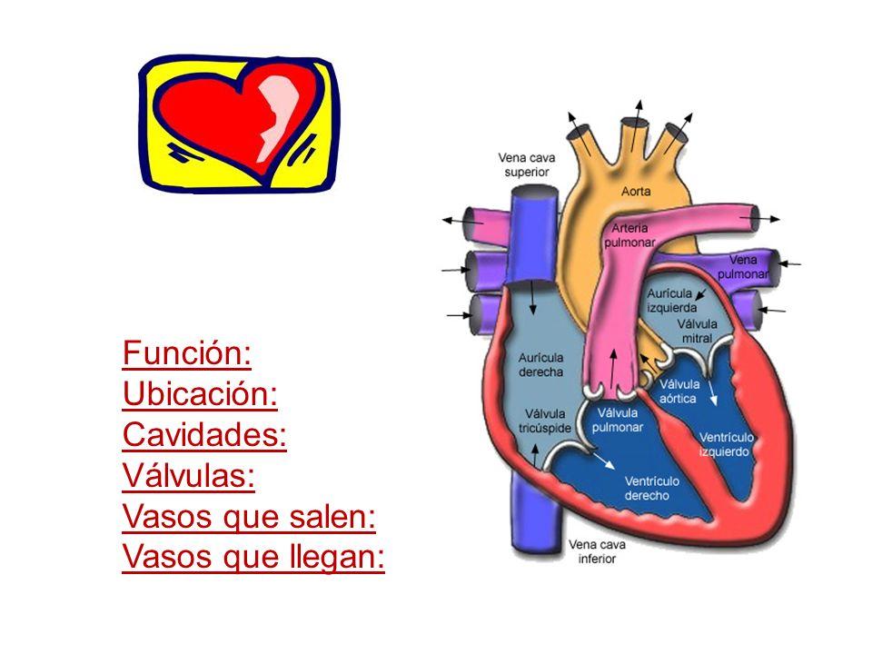 VASOS SANGUÍNEOS Vasos sanguíneosSentido en el cual transportan la sangre Estructura interna ARTERIAS Desde corazón hacia los órganos Gran diámetro, oponen escasa resistencia al flujo sanguíneo.