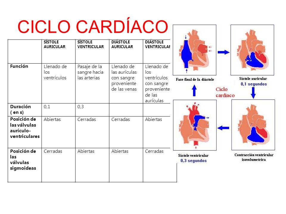 CICLO CARDÍACO SÍSTOLE AURICULAR SÍSTOLE VENTRICULAR DIÁSTOLE AURICULAR DIÁSTOLE VENTRICULAR FunciónLlenado de los ventrículos Pasaje de la sangre hac