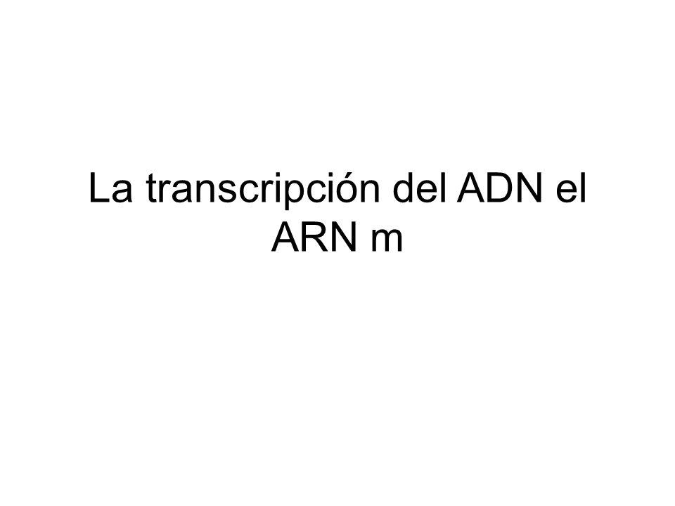 La transcripción del ADN el ARN m