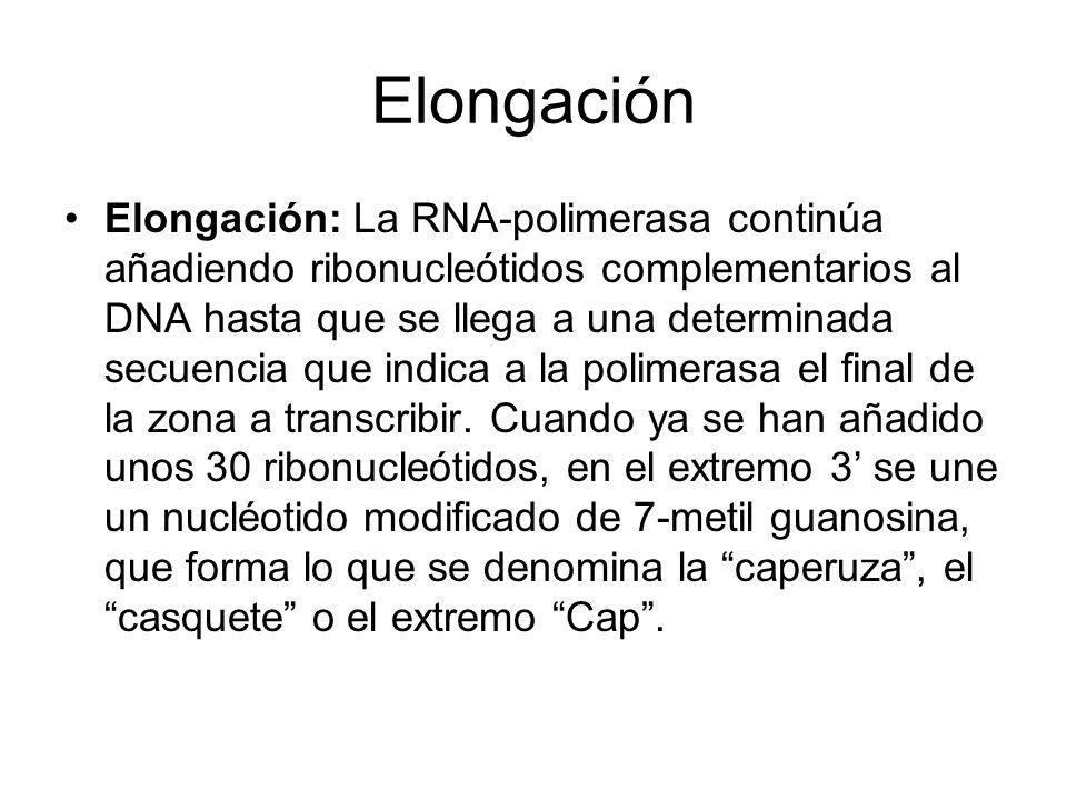 Elongación Elongación: La RNA-polimerasa continúa añadiendo ribonucleótidos complementarios al DNA hasta que se llega a una determinada secuencia que