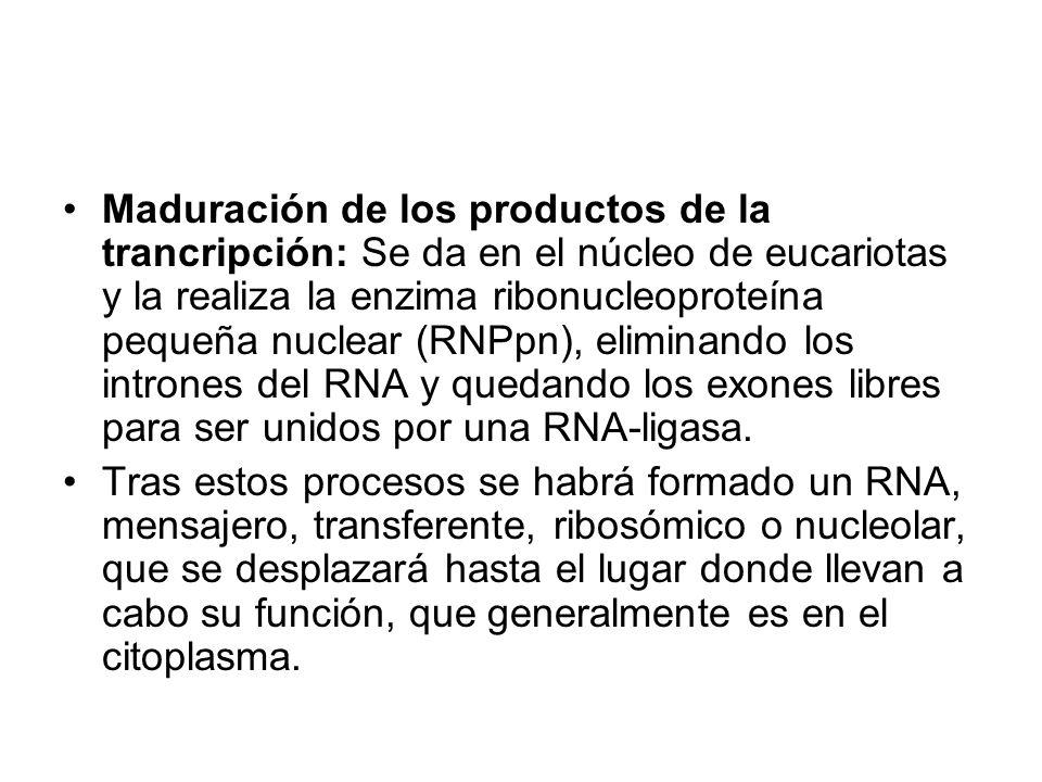 Maduración de los productos de la trancripción: Se da en el núcleo de eucariotas y la realiza la enzima ribonucleoproteína pequeña nuclear (RNPpn), el