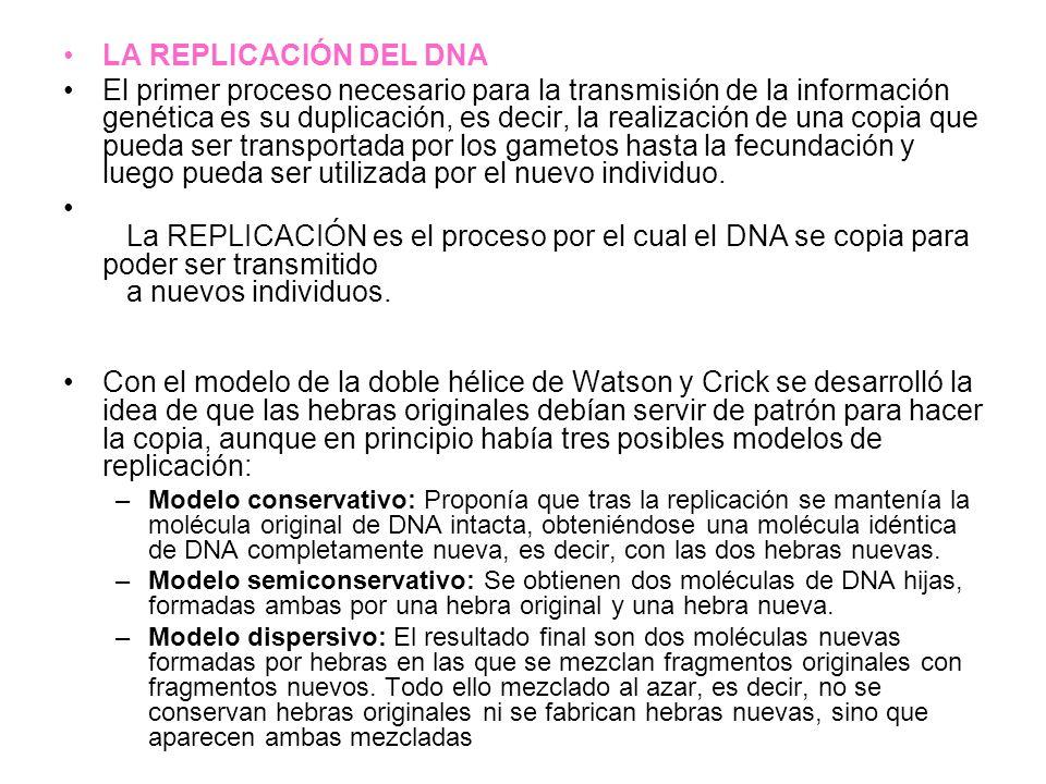LA REPLICACIÓN DEL DNA El primer proceso necesario para la transmisión de la información genética es su duplicación, es decir, la realización de una c
