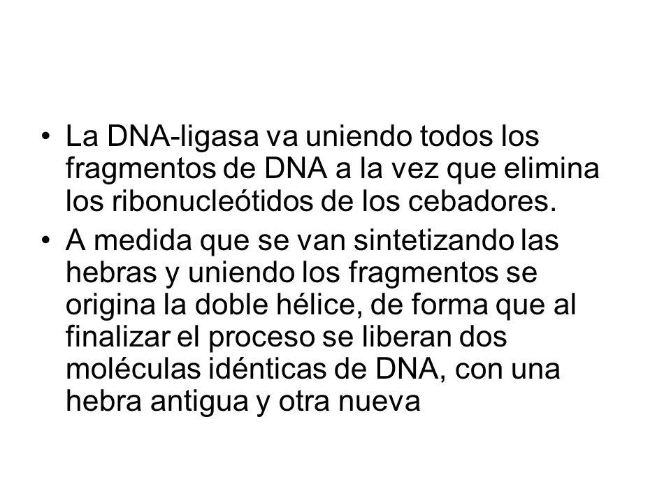 La DNA-ligasa va uniendo todos los fragmentos de DNA a la vez que elimina los ribonucleótidos de los cebadores. A medida que se van sintetizando las h