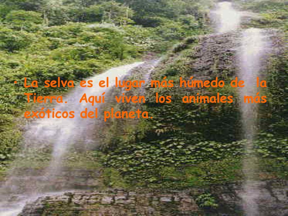 La selva es el lugar más húmedo de la Tierra. Aquí viven los animales más exóticos del planeta.