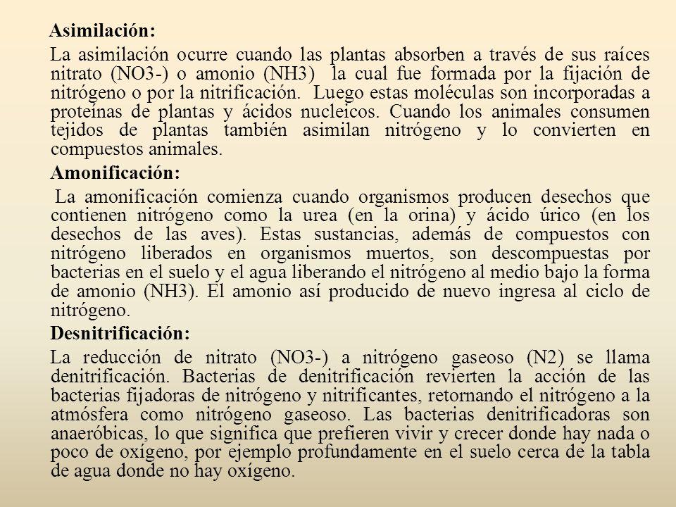 Asimilación: La asimilación ocurre cuando las plantas absorben a través de sus raíces nitrato (NO3-) o amonio (NH3) la cual fue formada por la fijació