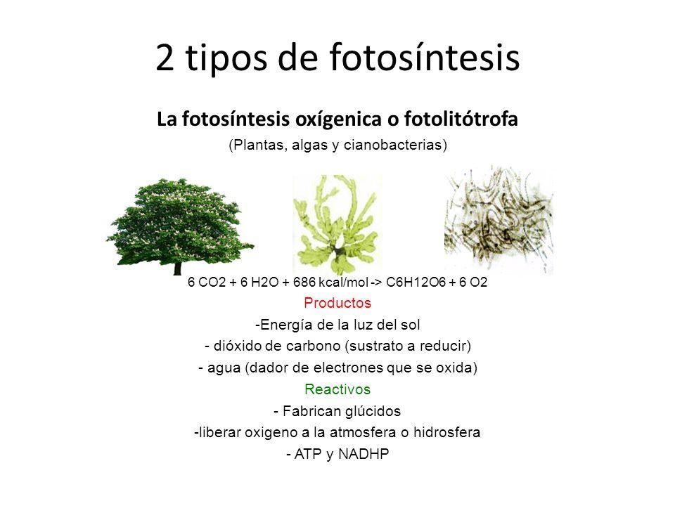 La fotosíntesis anoxígenica o foto-organótrofa (bacterias como la bacterias purpúreas del azufre y la bacterias verdes del azufre) 2H2S + CO2 ---> [CH2O] + H2O + 2 S Productos - energía de la luz del sol - dióxido de carbono (su sustrato a reducir) - sulfuro de hidrógeno (en lugar del agua, como dador de electrones que se oxida ) Reactivos - fabrican glúcidos - se libera azufre a el medio acuoso donde habitan o se aloja en el interior de la bacteria.