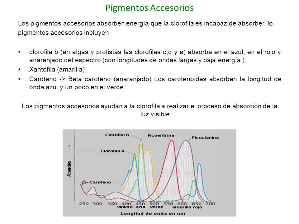 Oxígeno Durante la etapa ciclica luminica en el fotosistema II se produce un proceso llamado fotolisis la ruptura de una molécula de agua, debido a la acción directa de la luz solar, libera electrones, (la molécula de agua se divide en 2H+ + 2e- + 1/2O2) El pigmento P680 fotoionizado hace que la molécula de H20 se rompa libernado O2 que es liberado hacia la atmósfera