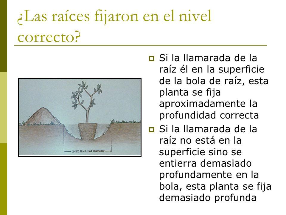 ¿Las raíces fijaron en el nivel correcto? Si la llamarada de la raíz él en la superficie de la bola de raíz, esta planta se fija aproximadamente la pr