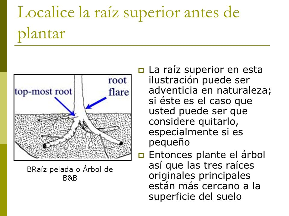 Localice la raíz superior antes de plantar La raíz superior en esta ilustración puede ser adventicia en naturaleza; si éste es el caso que usted puede ser que considere quitarlo, especialmente si es pequeño Entonces plante el árbol así que las tres raíces originales principales están más cercano a la superficie del suelo BRaíz pelada o Árbol de B&B