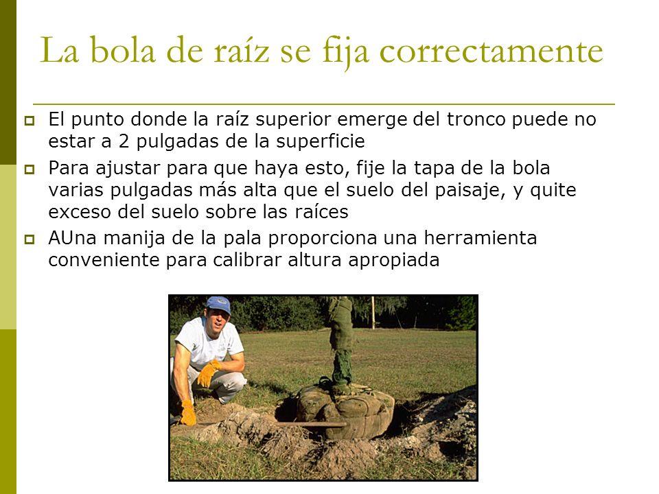 La bola de raíz se fija correctamente El punto donde la raíz superior emerge del tronco puede no estar a 2 pulgadas de la superficie Para ajustar para