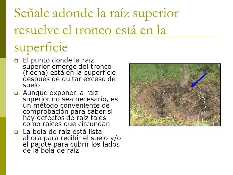 Señale adonde la raíz superior resuelve el tronco está en la superficie El punto donde la raíz superior emerge del tronco (flecha) está en la superfic