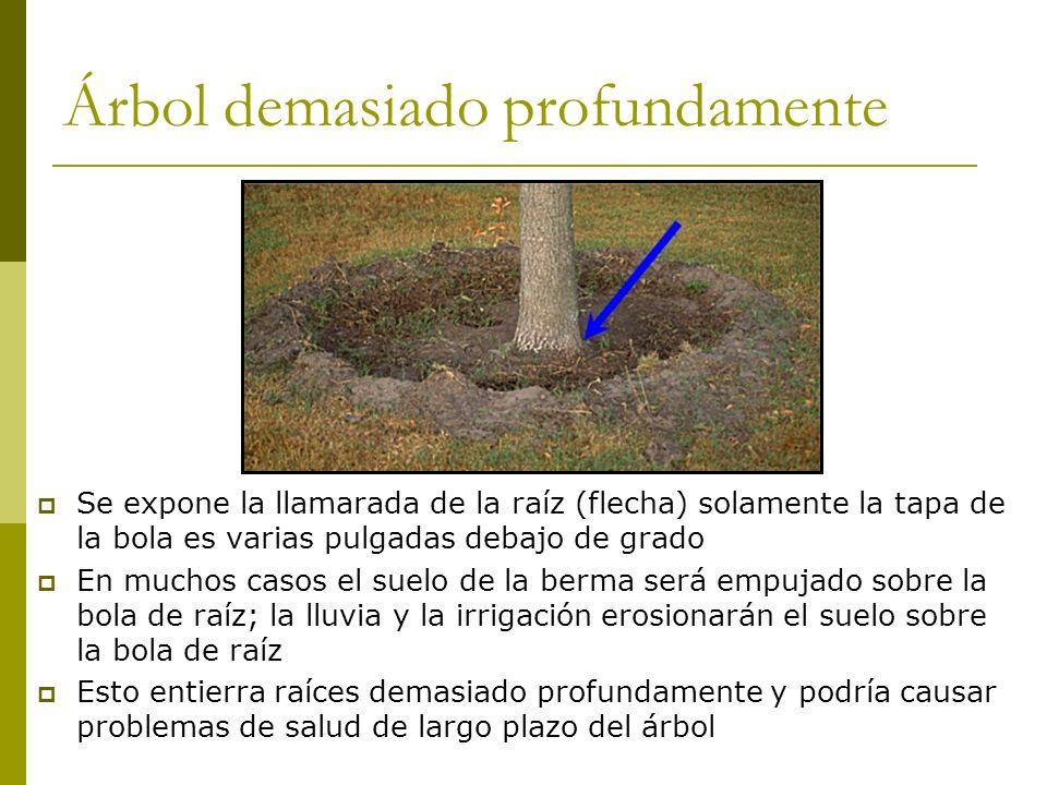 Árbol demasiado profundamente Se expone la llamarada de la raíz (flecha) solamente la tapa de la bola es varias pulgadas debajo de grado En muchos cas