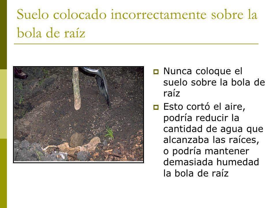 Suelo colocado incorrectamente sobre la bola de raíz Nunca coloque el suelo sobre la bola de raíz Esto cortó el aire, podría reducir la cantidad de agua que alcanzaba las raíces, o podría mantener demasiada humedad la bola de raíz