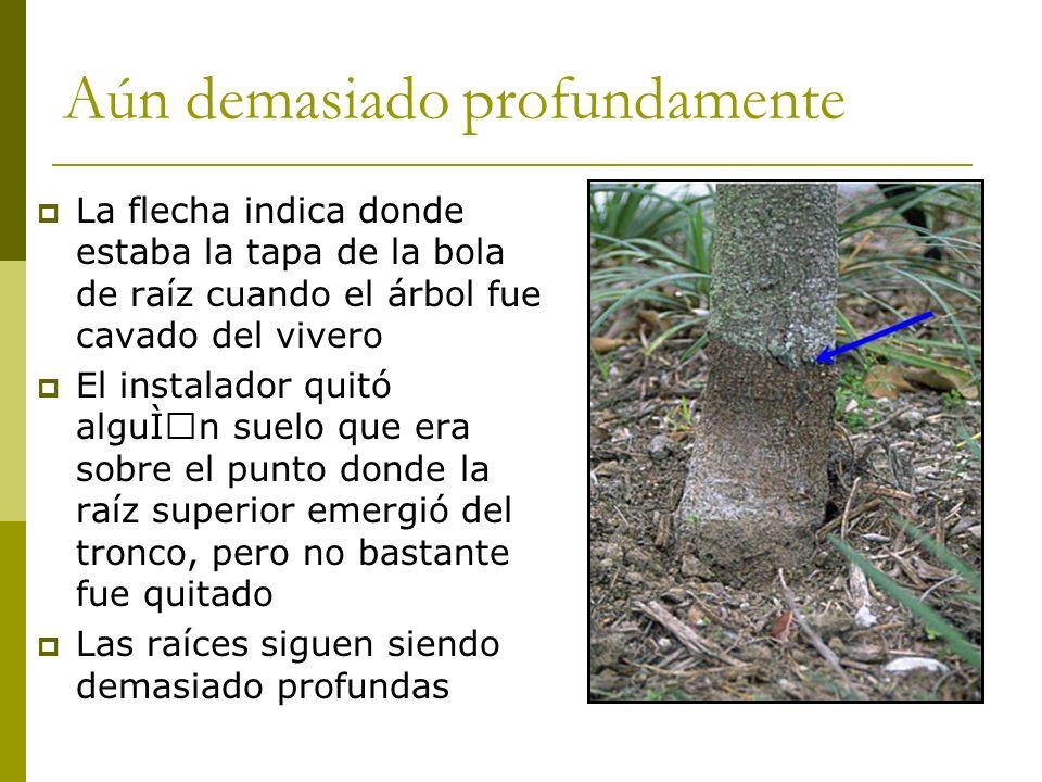 Aún demasiado profundamente La flecha indica donde estaba la tapa de la bola de raíz cuando el árbol fue cavado del vivero El instalador quitó algún