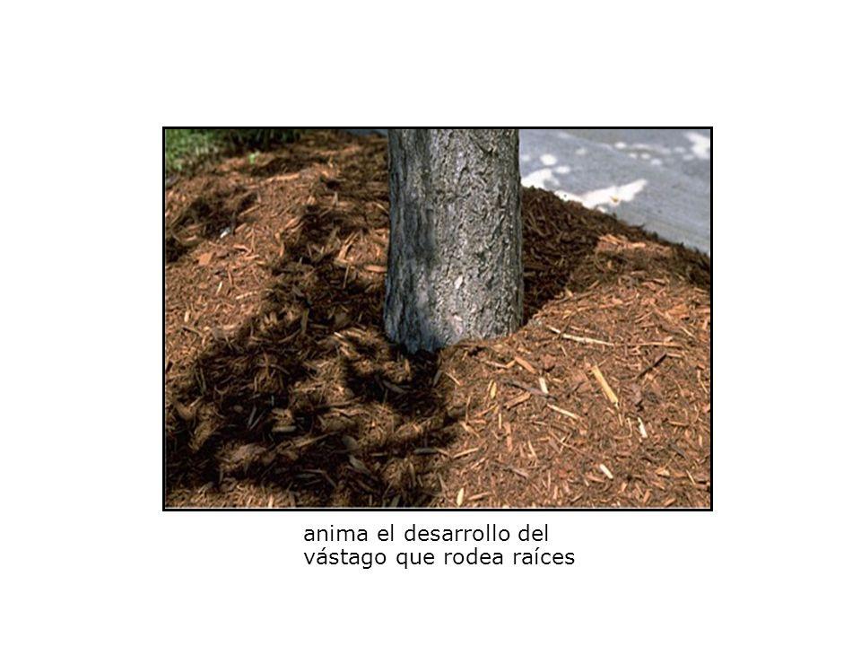 anima el desarrollo del vástago que rodea raíces