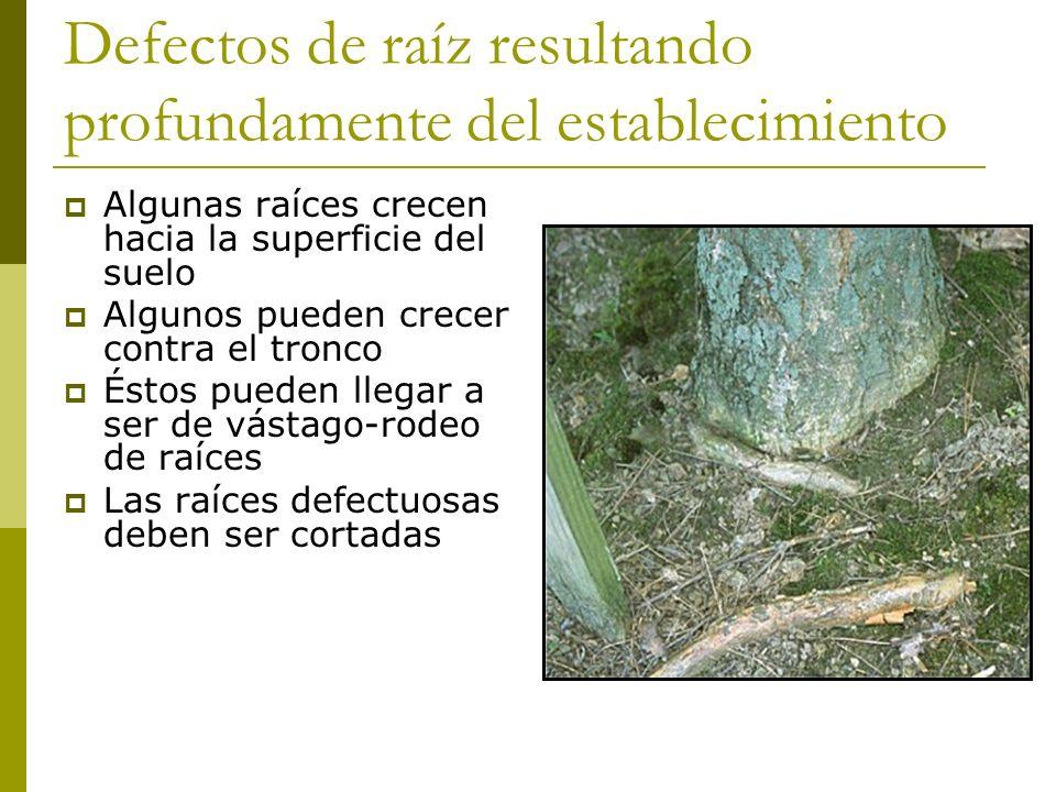 Defectos de raíz resultando profundamente del establecimiento Algunas raíces crecen hacia la superficie del suelo Algunos pueden crecer contra el tronco Éstos pueden llegar a ser de vástago-rodeo de raíces Las raíces defectuosas deben ser cortadas