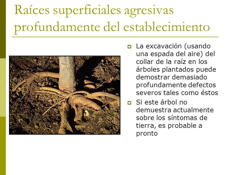 Raíces superficiales agresivas profundamente del establecimiento La excavación (usando una espada del aire) del collar de la raíz en los árboles plantados puede demostrar demasiado profundamente defectos severos tales como éstos Si este árbol no demuestra actualmente sobre los síntomas de tierra, es probable a pronto
