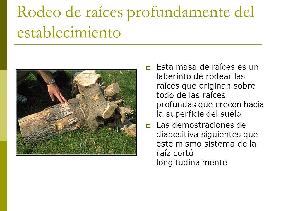 Rodeo de raíces profundamente del establecimiento Esta masa de raíces es un laberinto de rodear las raíces que originan sobre todo de las raíces profundas que crecen hacia la superficie del suelo Las demostraciones de diapositiva siguientes que este mismo sistema de la raíz cortó longitudinalmente
