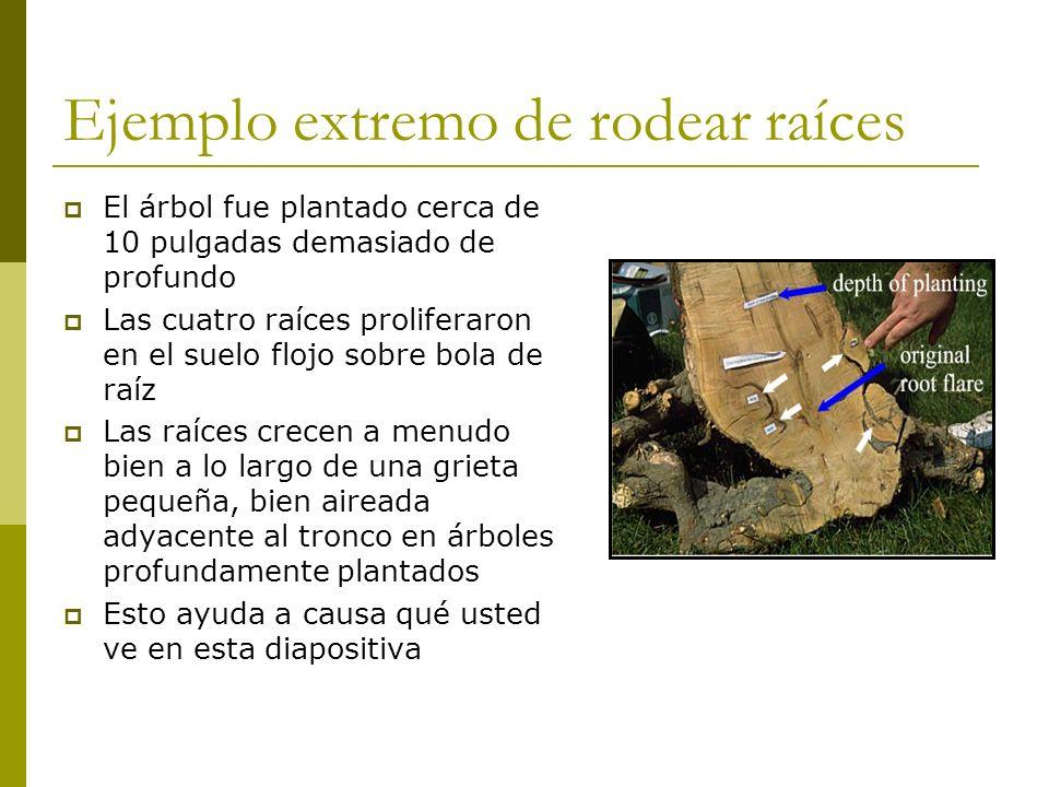 Ejemplo extremo de rodear raíces El árbol fue plantado cerca de 10 pulgadas demasiado de profundo Las cuatro raíces proliferaron en el suelo flojo sob
