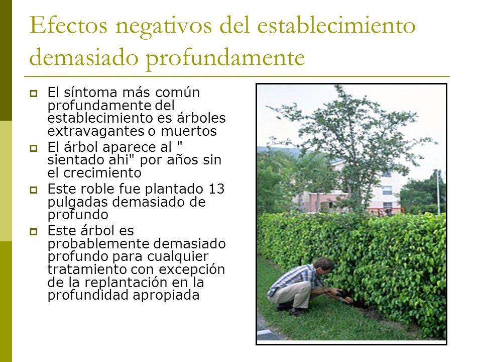 Efectos negativos del establecimiento demasiado profundamente El síntoma más común profundamente del establecimiento es árboles extravagantes o muerto