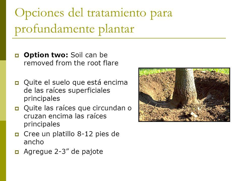 Opciones del tratamiento para profundamente plantar Option two: Soil can be removed from the root flare Quite el suelo que está encima de las raíces superficiales principales Quite las raíces que circundan o cruzan encima las raíces principales Cree un platillo 8-12 pies de ancho Agregue 2-3 de pajote