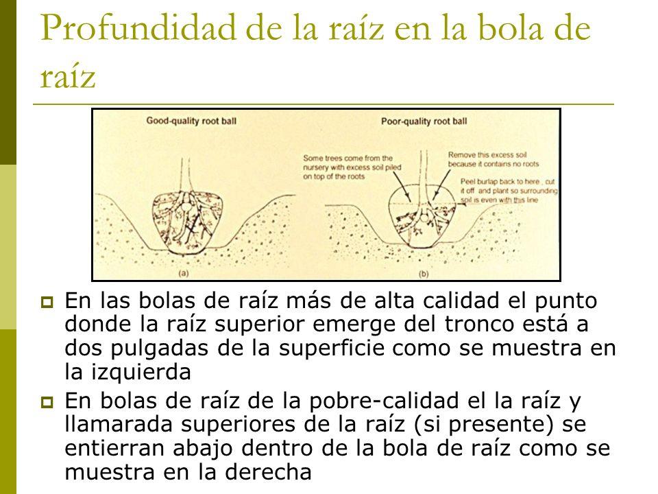 Profundidad de la raíz en la bola de raíz En las bolas de raíz más de alta calidad el punto donde la raíz superior emerge del tronco está a dos pulgadas de la superficie como se muestra en la izquierda En bolas de raíz de la pobre-calidad el la raíz y llamarada superiores de la raíz (si presente) se entierran abajo dentro de la bola de raíz como se muestra en la derecha