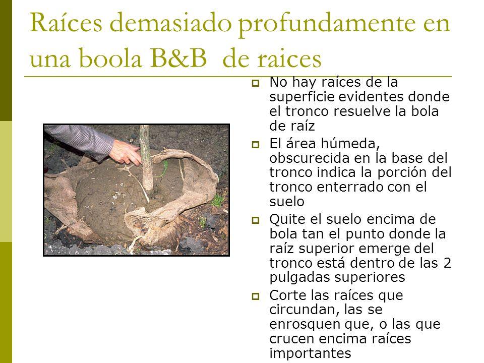 El primer demuestra la desigualdad de la tapa de una de raíz de B&B--esto es normal Si la raíz superior emerge del tronco a dos pulgadas de la superficie de la bola de raíz, compruebe para y trate las raíces que circundan en caso de necesidad, cubra los lados de la bola de raíz con el suelo o el pajote, y acabe el establecimiento La bola de raíz está lista para comprobar para saber si hay defectos de raíz